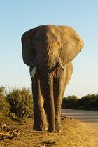 Addo Elephant Park - Holy Shit - er kommt direkt auf uns zuuu!