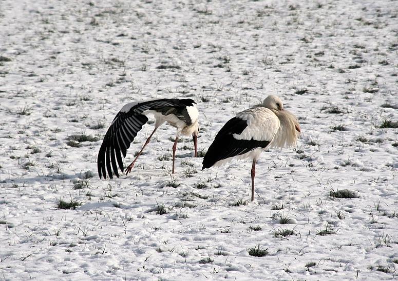 Adebar der Storch -3-
