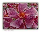 Adelfa ( Nerium oleander )