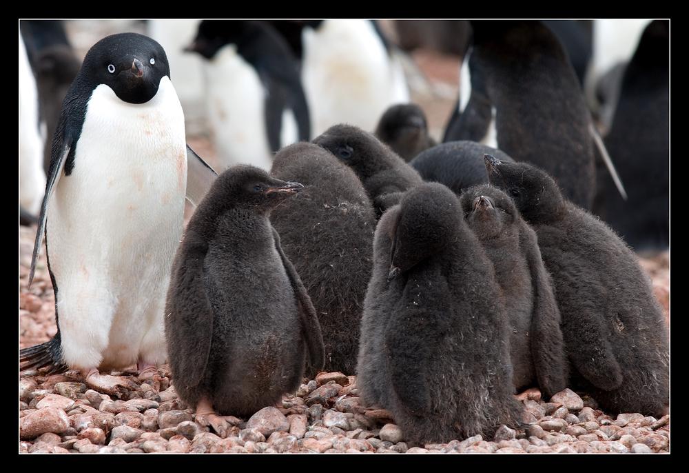 Adelie Penguin Rookery
