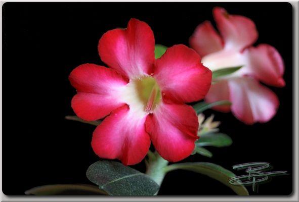 Adenium Obesum / Wüstenrose