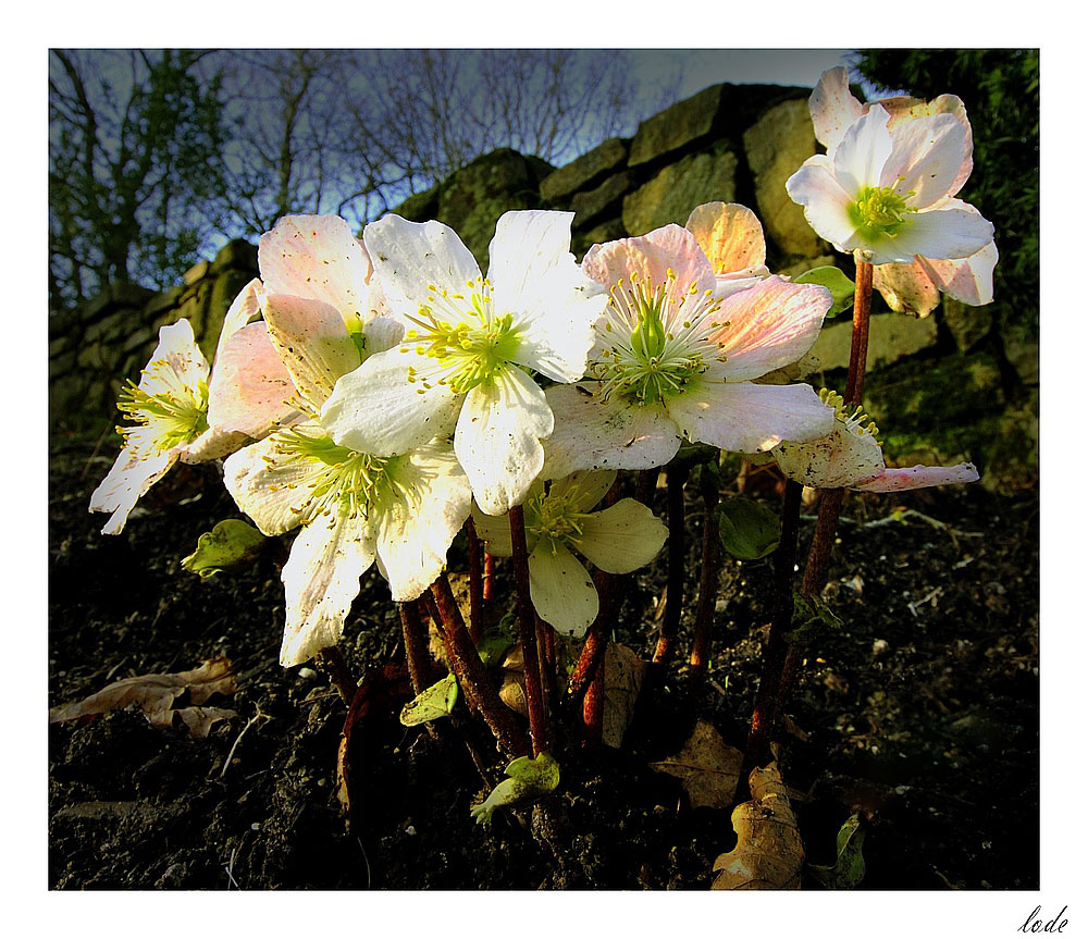 Adieu, roses de noël