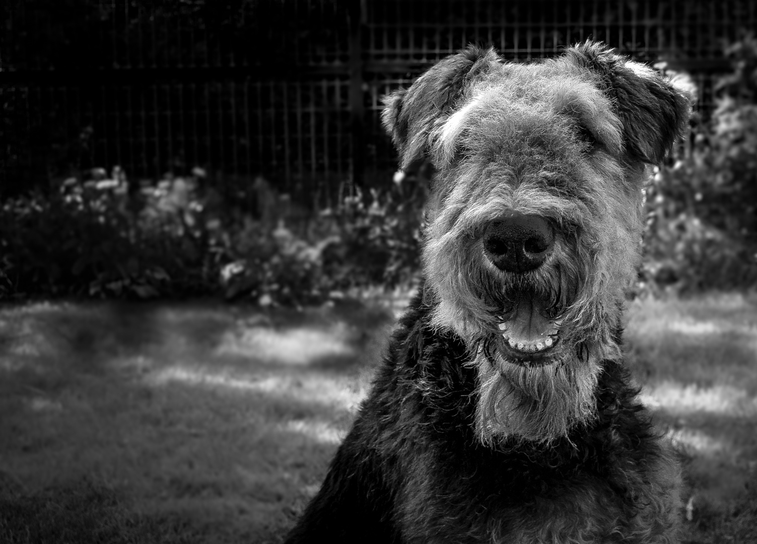 Adina (AIredale Terrier )