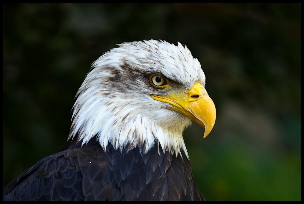 Adler Vogel Bilder