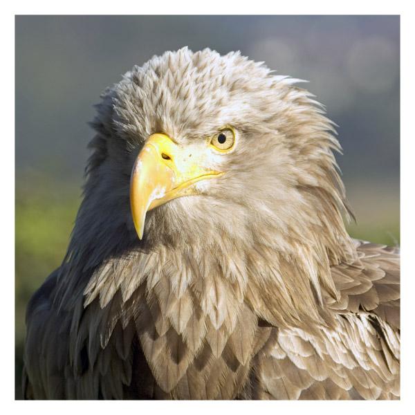 """Adler - """"anvisiert"""""""