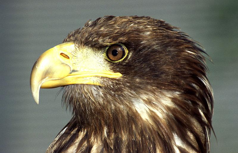 Adler aus dem Freigehege in Hellenthal