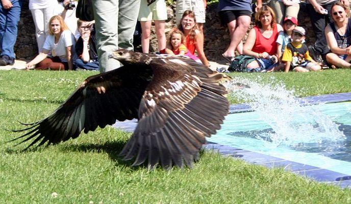 Adler beim fischen