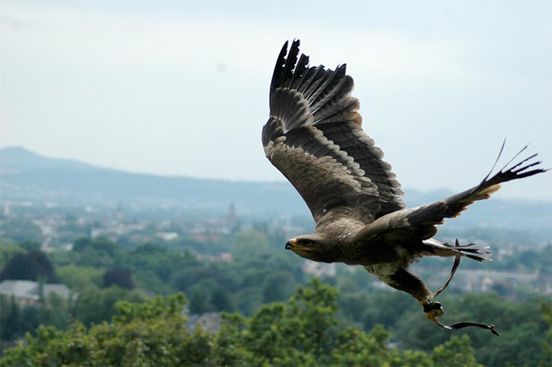 Adler Flugphase2