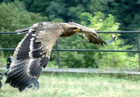 Adler Flugphase3