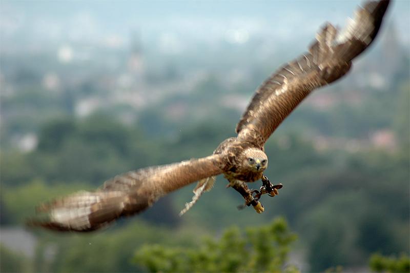 Adler Flugphase4