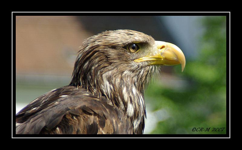 Adler I