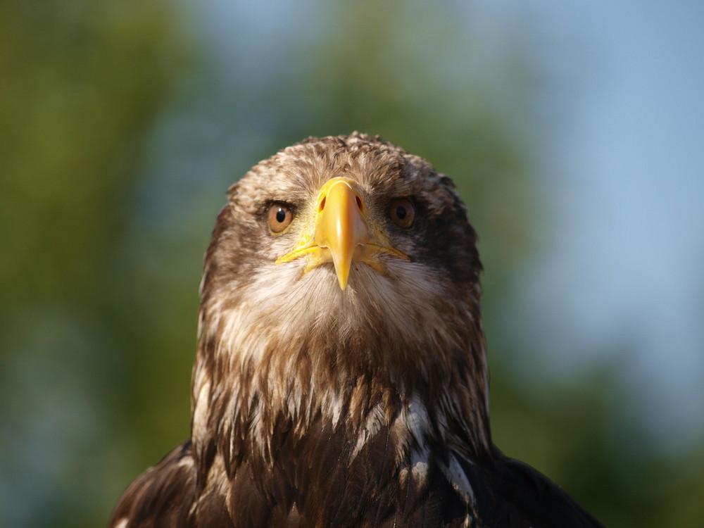 Adler III