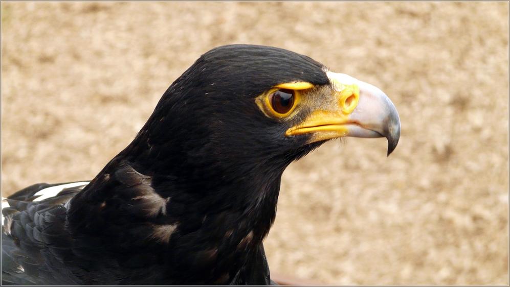 Adler im Adlerpark Bindslev ( Jütland Dänemark )
