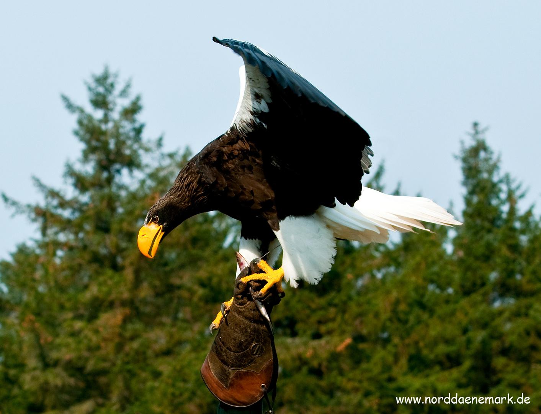 Adler im Norden Dänemark