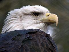 Adler im Nürnberger Tiergarten