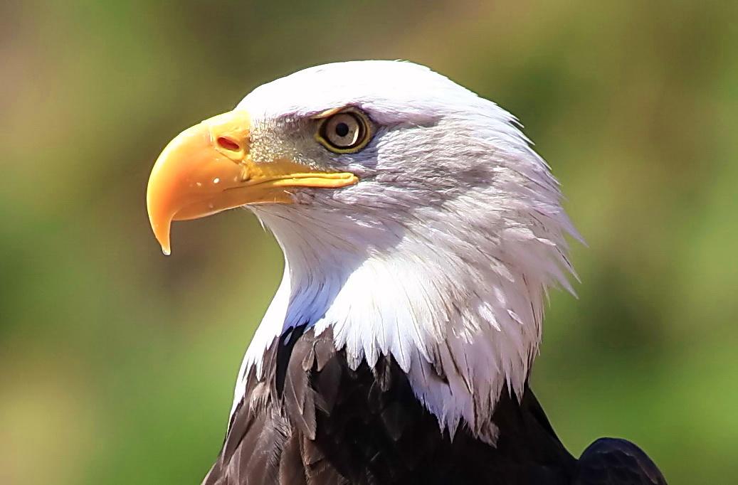 Adler im Palmitos Park / Gran Canaria