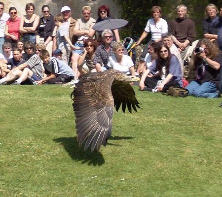 Adler im Tiefflug