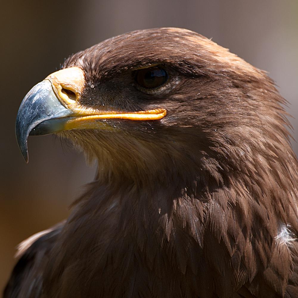 Adler in der Fasanerie in Hanau