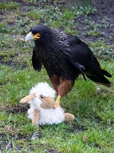 Adler mit wehrlosem Schaf