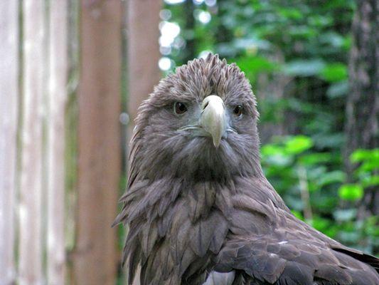 Adler nach einem Regenschauer