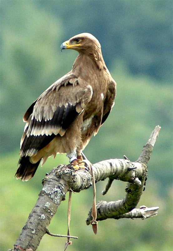Adler sucht Beute