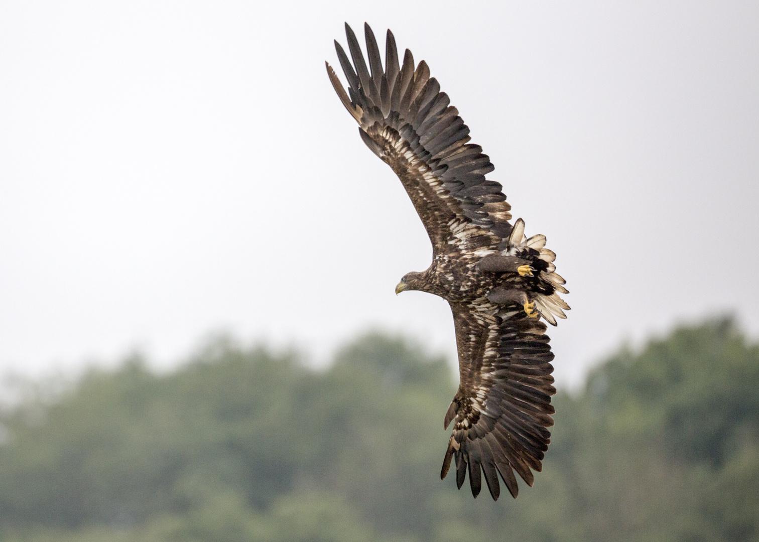 Adler über Mecklenburger See
