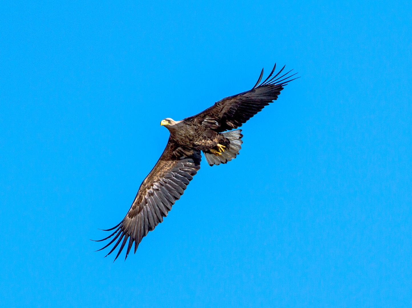 Adler über Usedom