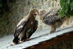 Adler und Uhu im Streit
