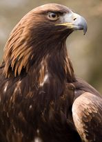 Adler vor der Flugvorführung