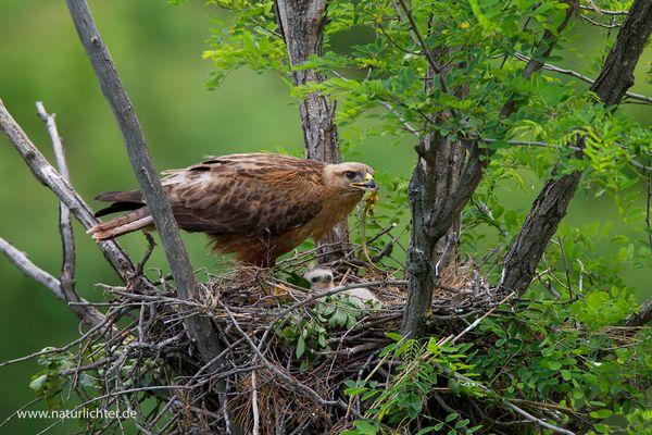 Adlerbussard am Nest