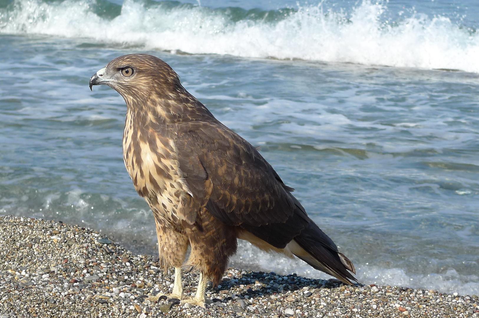 Adlerfalke im Mittelmeer