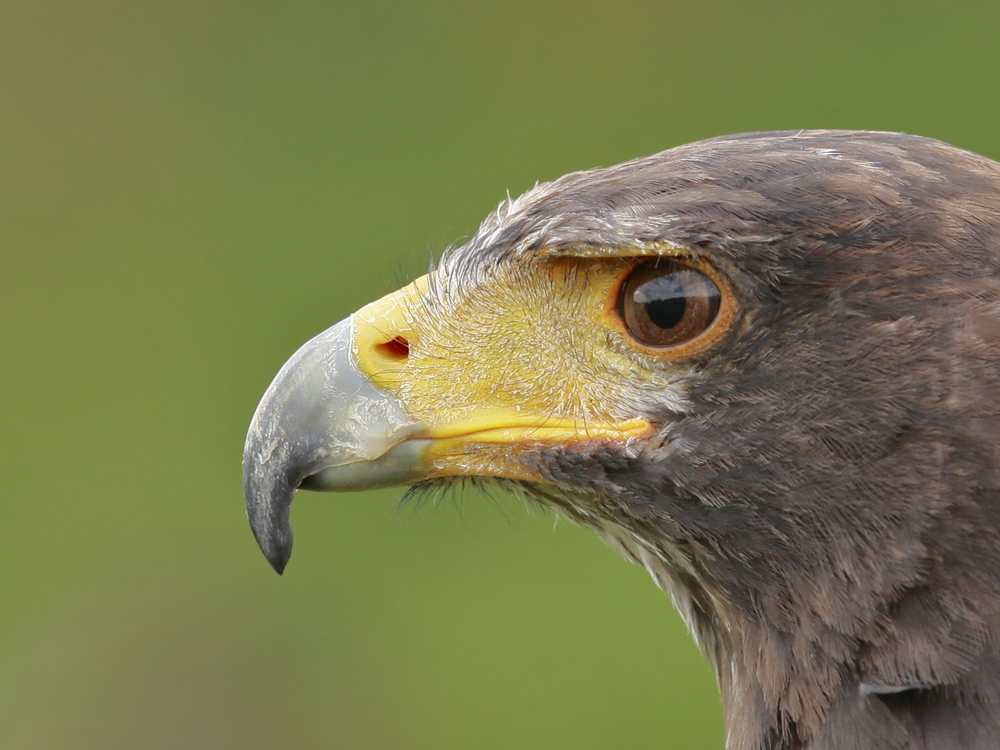 Adler.Nase