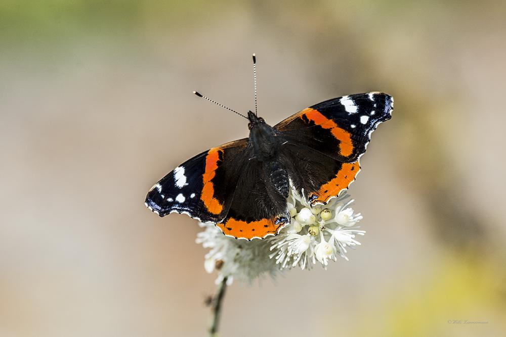 Admiral auf Sommerflieder-Schmetterlingsstrauch (White Bouquet)