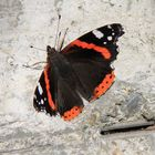 Admiral (Vanessa atalanta) Schmetterling
