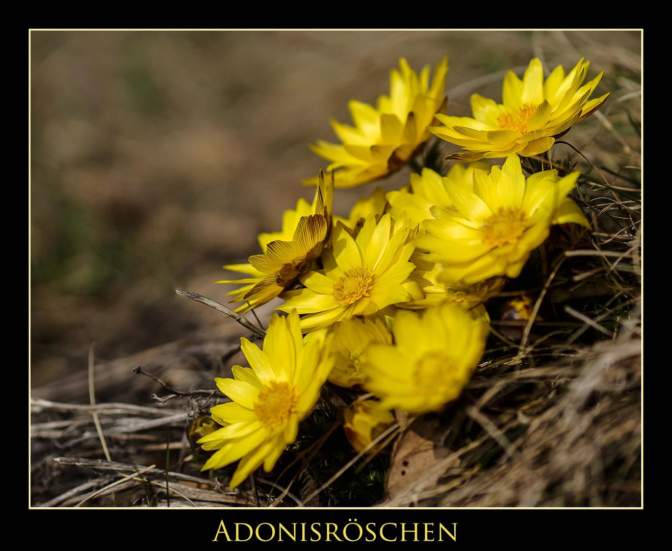 Adonisröschen