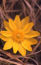 Adonisröschen - Frühlingsblüher auf Kalkböden