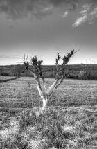 Adriatischer Baum