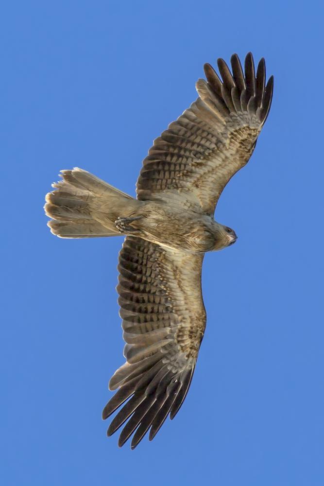 Adulter Kite im Überflug ...