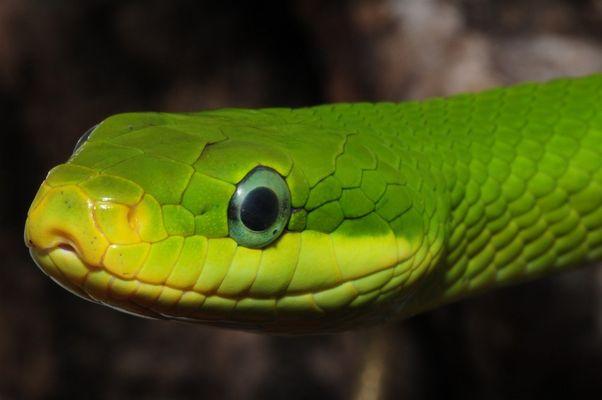 adultes Gonyosoma prasinum - Weibchen