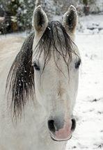 Adventspferd