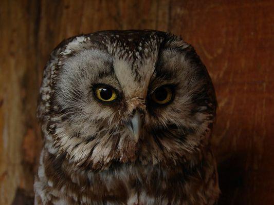 Aegolius funereus - Tengmalm's owl - Chouette de tengmalm