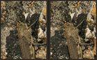 Ägyptische Knarrschrecke [3D]