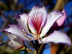 Ägyptische Lotosblume (Nymphaea coreuela)