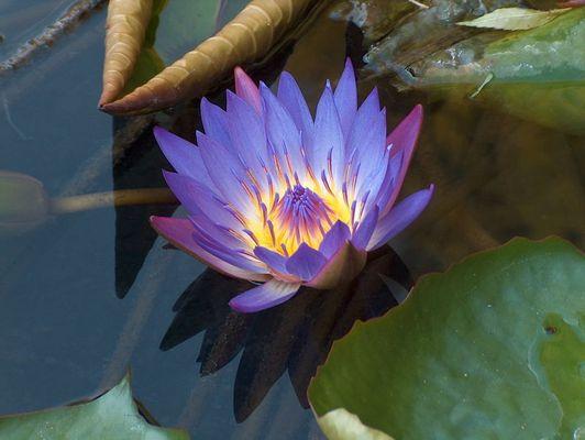 Ägyptische Lotusblume