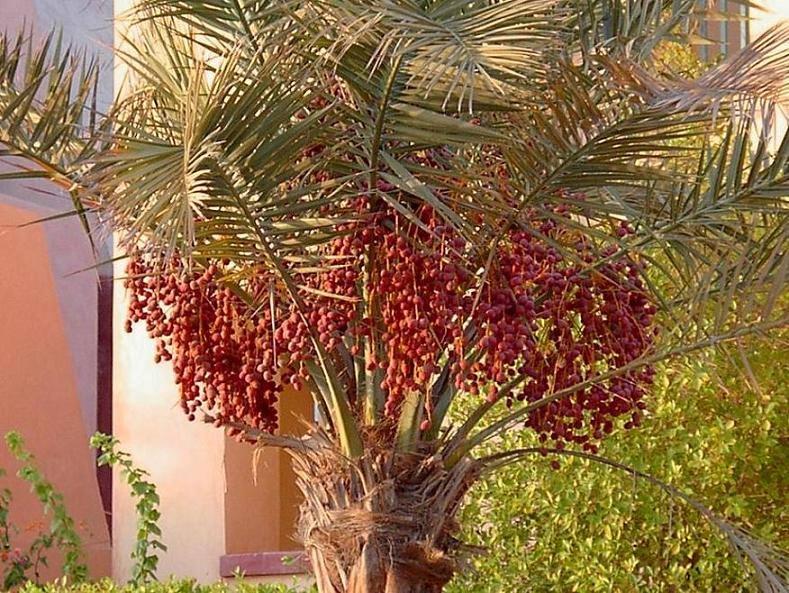 Ägyptischer Dattelbaum