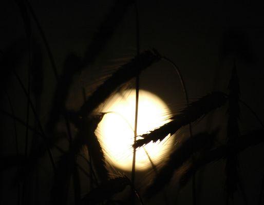 Ähren bei Nacht...