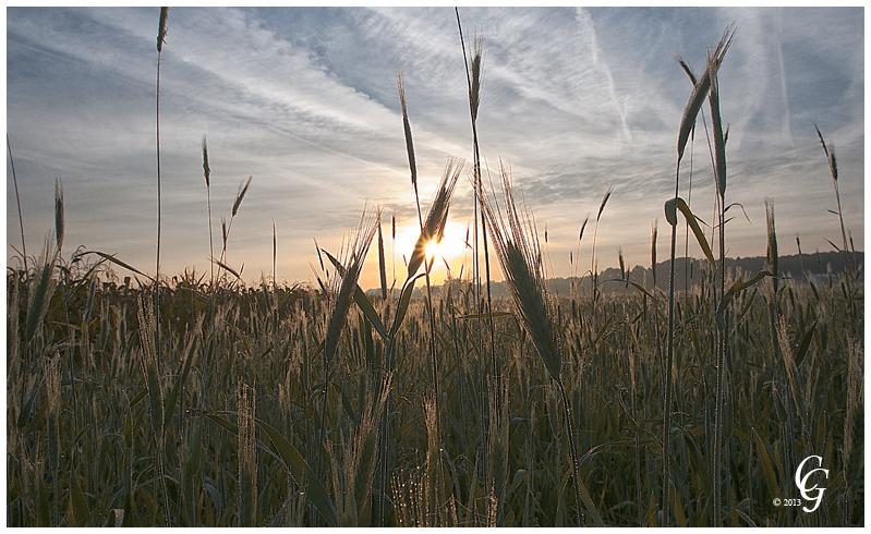 Ährenfeld im Morgenlicht