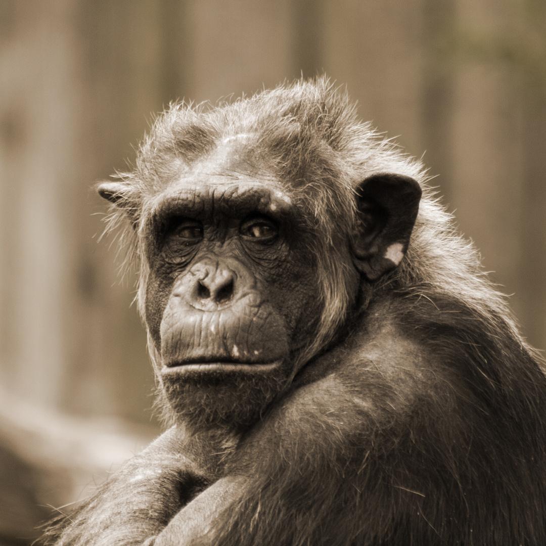 Älterer Schimpanse