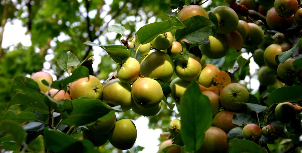 Äpfel 2009