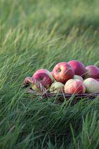 Äpfel eingefangen